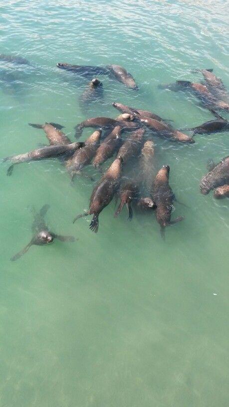 Lobos de mar en Caleta Portales