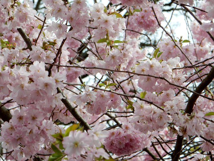 19 April cherry trees
