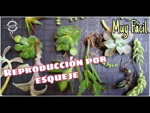 REPRODUCCIÓN DE CACTUS Y SUCUS (fácil y rápido) -  REPRODUCTION OF CACTU...