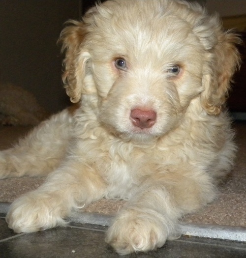 Mini Aussiedoodle Puppy | mini aussiedoodle puppy pets