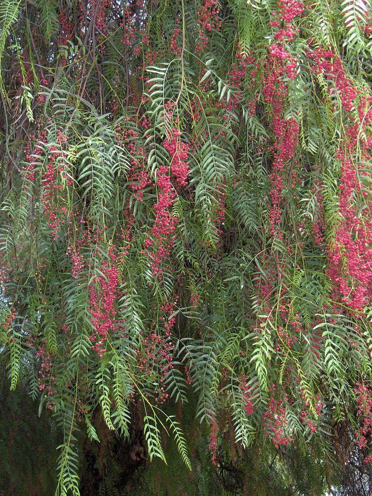 arbol de Pirul, (Shinus molle) arbol de clima subtropical nativo de Peru en sudamerica e introducido en Mexico en epocas de la colonia alla por 1700.
