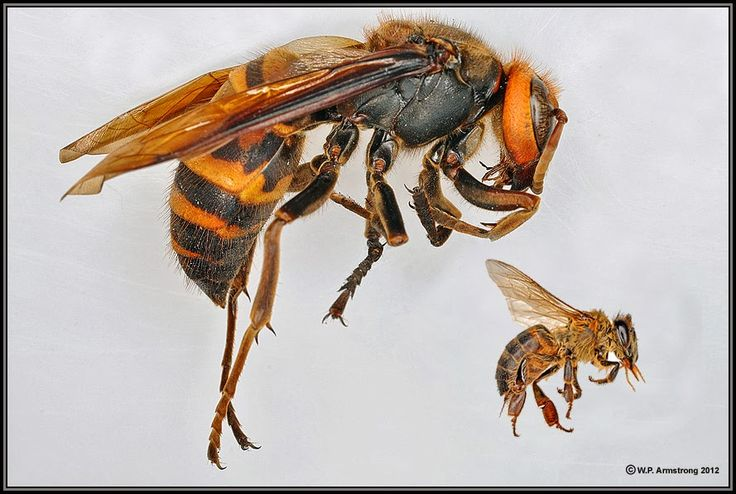 Japanese giant hornet | The Japanese Giant Hornet is at least five times larger than the honey ...