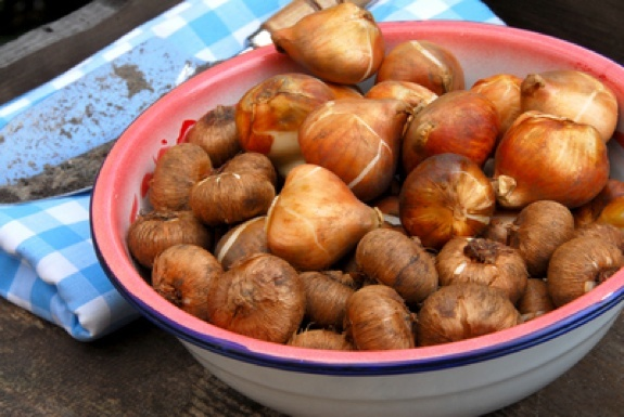 Gardening Questions About Planting Tulip Bulbs Late
