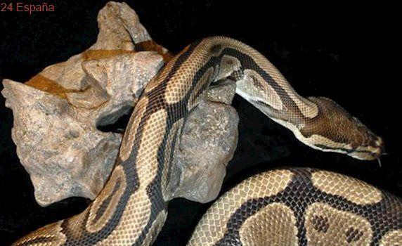 Encuentran una serpiente pitón de más de un metro en plena calle en Salamanca