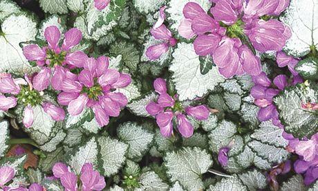 Lamium mega purple