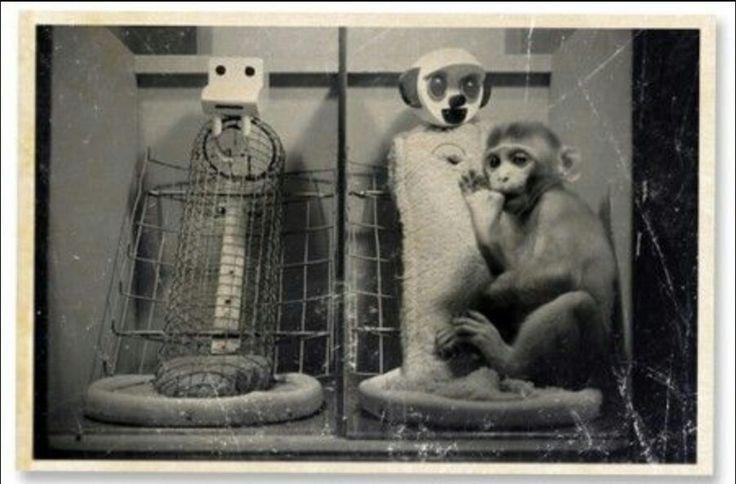 Bij de 'monkeys of Harlow' werden 2 poppen geplaatst. De aapjes gingen enkel om te drinken naar de harde 'koude'mama. En bij de zachte, volle mama gingen ze gezellig knuffelen.  FOTO