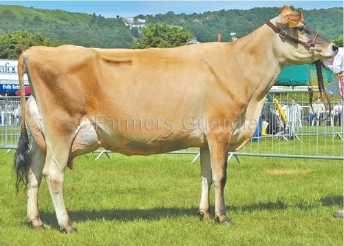 Jersey Cattle | Supreme rosette goes to Jersey cow | Shows and events | Farmers ...