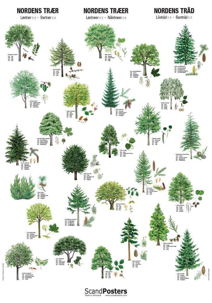 Poster Die Bäume der nordischen Länder   Natur, Plakater