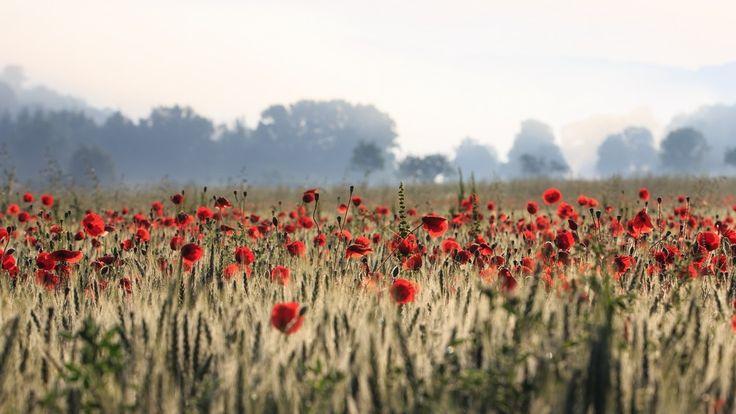 Poppy flowers field, red flowers wallpaper