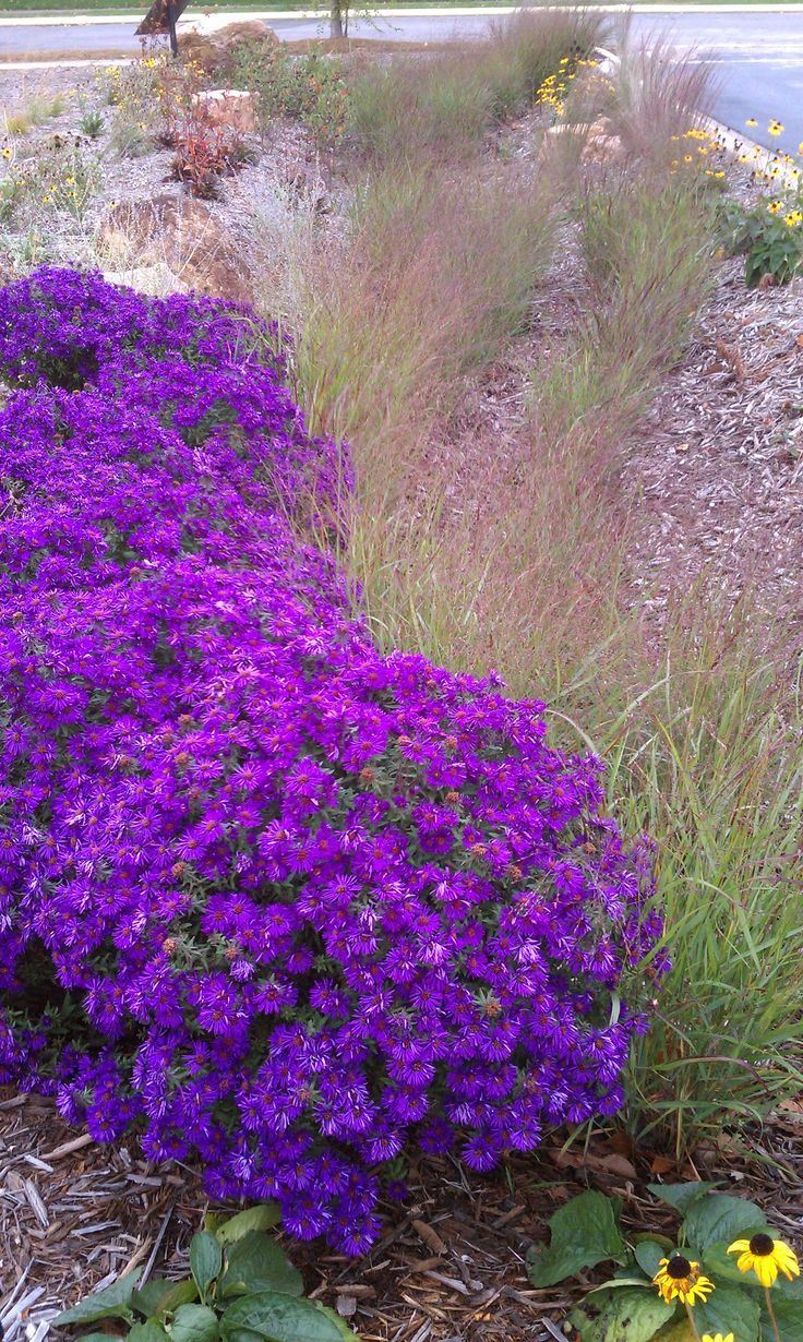 asters purple dome new england