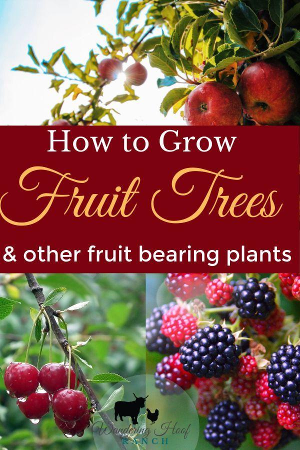 How To Grow Fruit Trees For Beginners Wandering Hoof Ranch Growing Fruit Fruit Trees Backyard Growing Fruit Trees