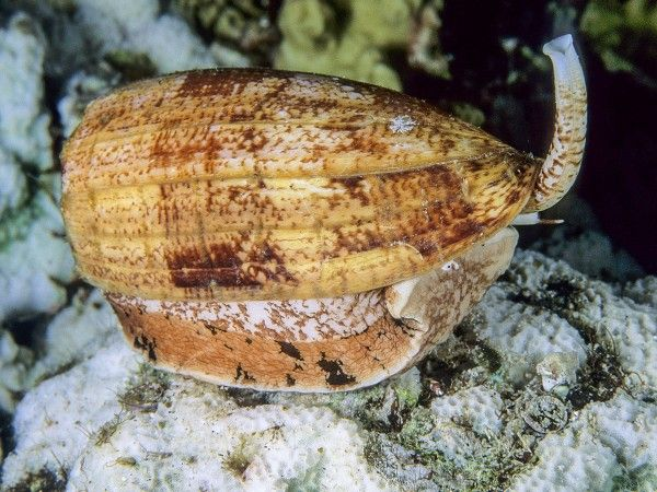 Insulin-infused venom helps cone snails net prey. The most venomous animal on the planet isn't a snake, a spider, or a scorpion; it's a snail—a cone snail, to be precise.