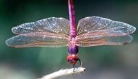 How to attract dragonflies to your garden. Not only are they beautiful but they keep the mosquitoes away. With a little time and care, you can create a water garden that attracts these graceful creatures. Make your dream garden a reality by following these steps.