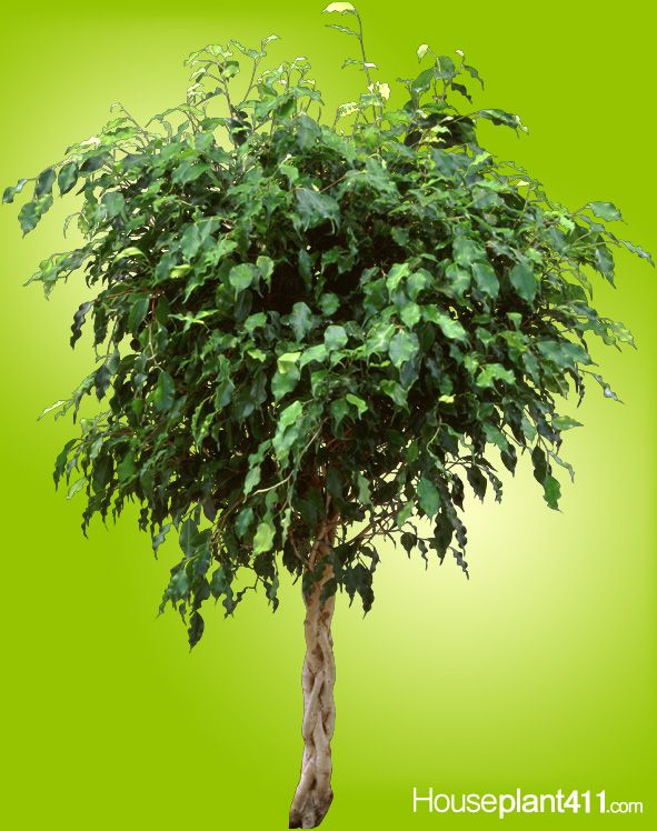 how to grow a ficus tree plant care