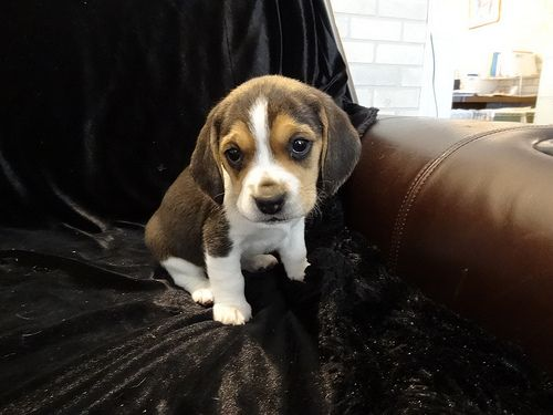 Beagles Mini Tiny Puppies For Sale Miniature Pocket Beagle… | Flickr