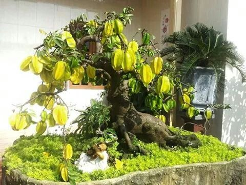 Bonsai- Star fruit tree, Carambola. (Averhoa carambola).
