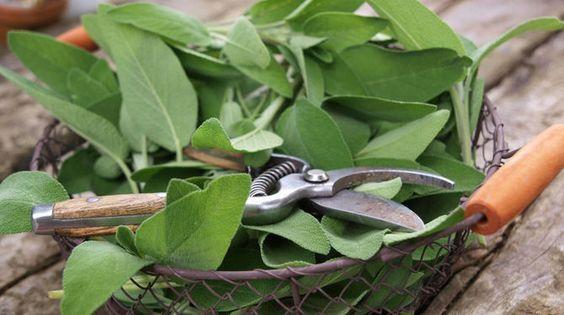 Šalvia patrí medzi najstaršie liečivé bylinky