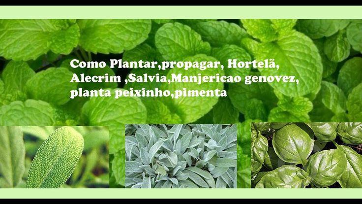Como Plantar,propagar, Hortelã,Alecrim ,Salvia,Manjericao genovez,planta...