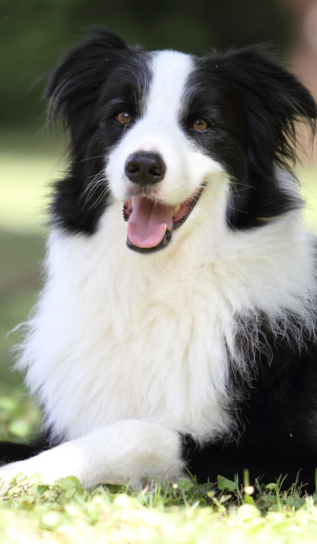 Border Collie – wahre Schönheit   – My kind of dog…