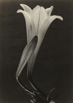 """Easter Lily and Bud  Tina Modotti (Italian, 1896-1942)    c. 1925. Gelatin silver print, 9 9/16 x 6 3/4"""" (24.3 x 17.2 cm). Gift of Miss Dorothy M. Hoskins  727.1959"""