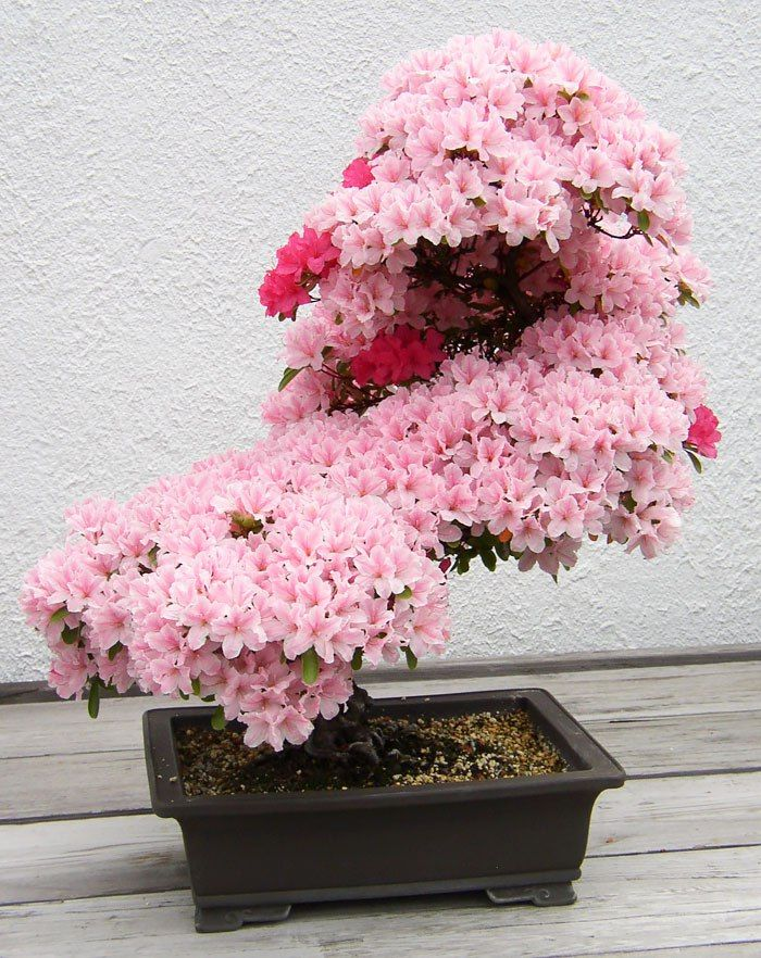 Beautiful Bonsai trees is Azalea