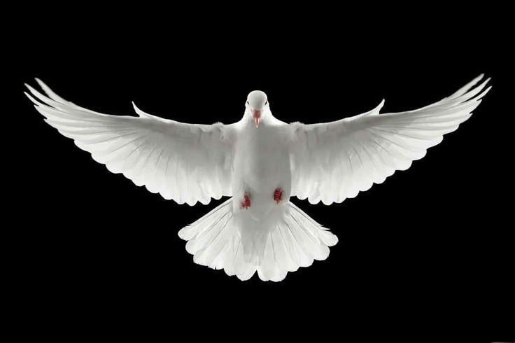 Pomba da paz.