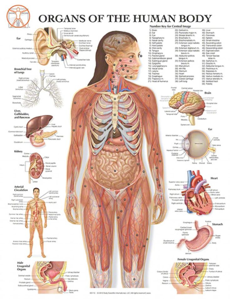 Female human body diagram of organs