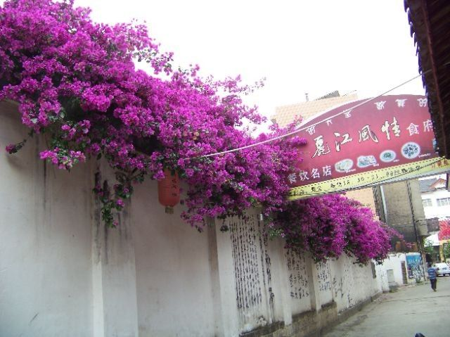 17 Best images about Bountiful Bougainvillea on Pinterest ...