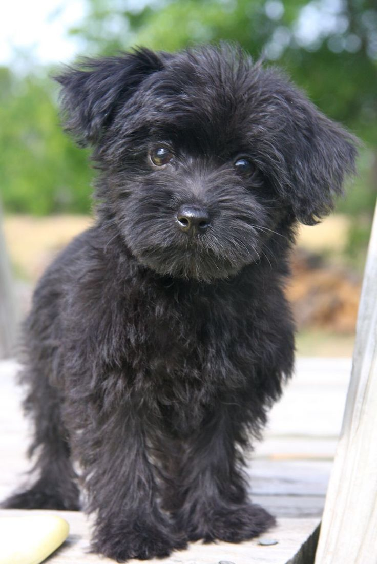 This Was Probably Vickie As A Puppy Yorkshireterrier Yorkie Poo