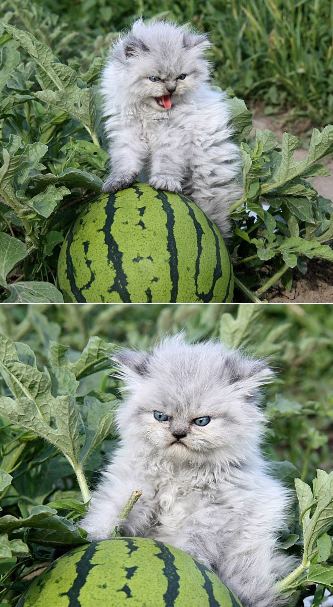 """The best thing you will see today. """"Dis is meine Watermelon! """" kitty"""
