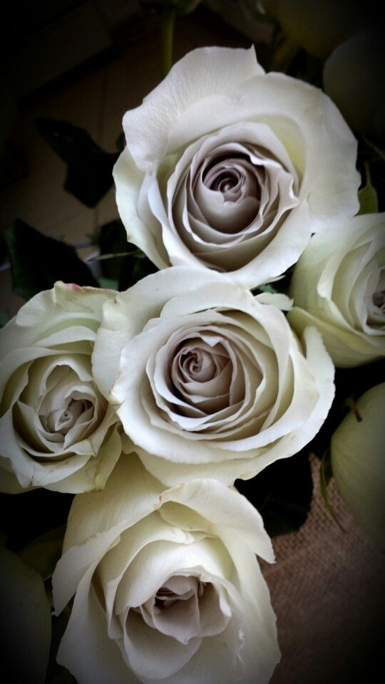 Earl grey roses. Light grey rose with a lavender hued ...