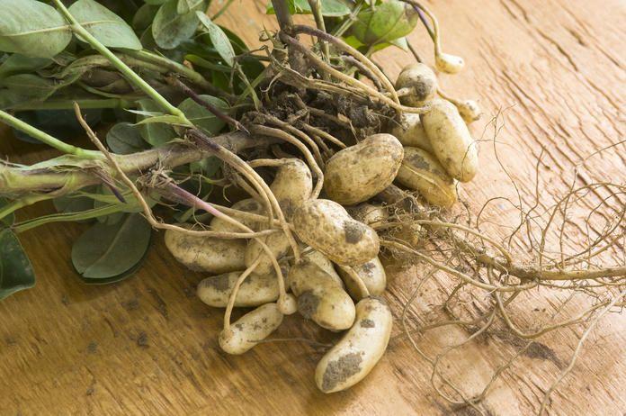 Erdnusse Einfach Selber Anbauen Erdnusse Pflanzen Erdnuss Arachis