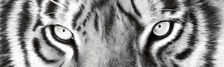 Nose to Nose BW Tiger Eyes Rear Window Graphic Part #RWG1573 | See thru Wildlife Rear Window Graphics & Wildlife Window Decals