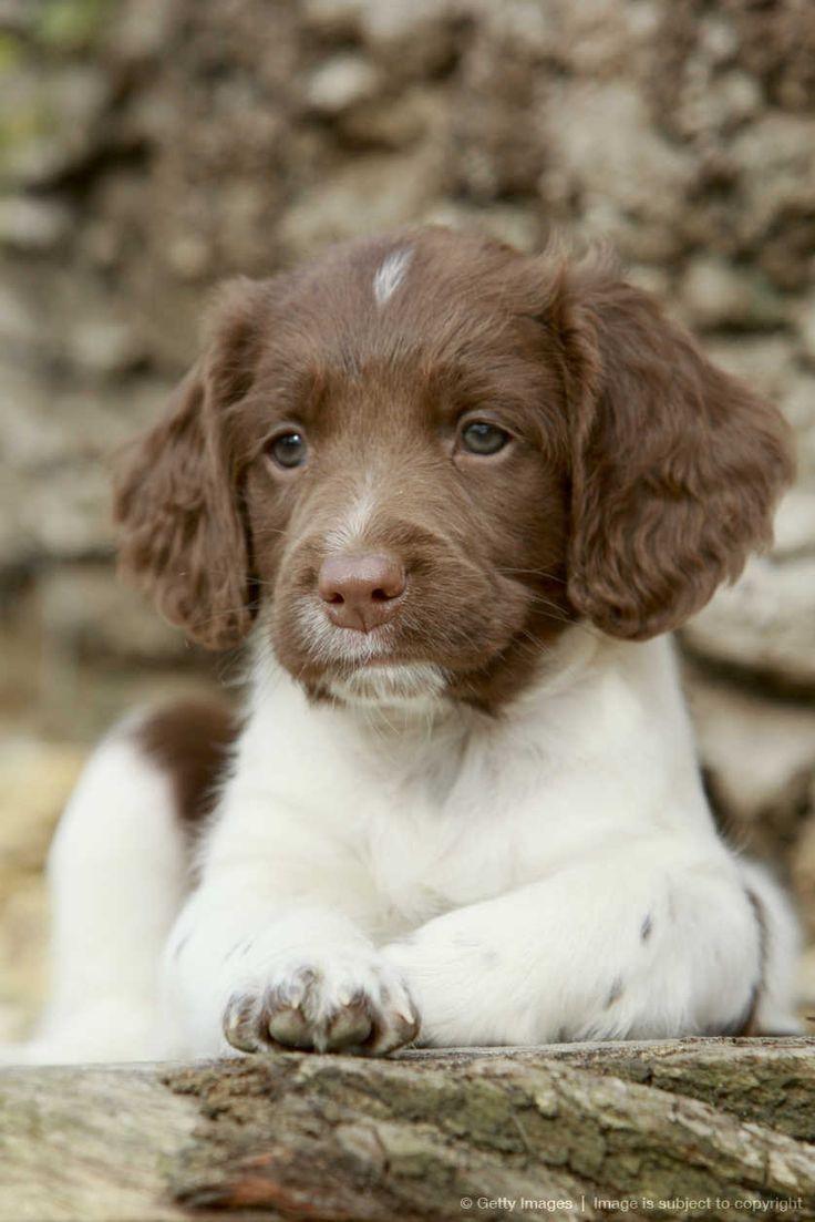 English Springer Spaniel (Canis lupus familiaris) puppy, UK