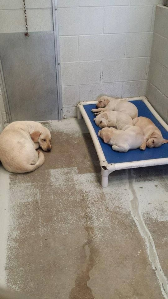 URGENT! MAMA and PUP FAMILY in TX!!! Doesn't this photo touch your heart? Young mama dog curled up on the floor so her babies can have the raised bed. A dog's heart is pure! This is little family is at the Ft Bend shelter in Rosenberg, TX. PLEASE SHARE FOR A FOSTER OR ADOPTER! The babies should not be in the shelter! Shelter CONTACT: 281-342-1512. https://www.facebook.com/PawsTexas/photos/a.118826628468.102235.118812188468/10152299329533469/?type=1&theater