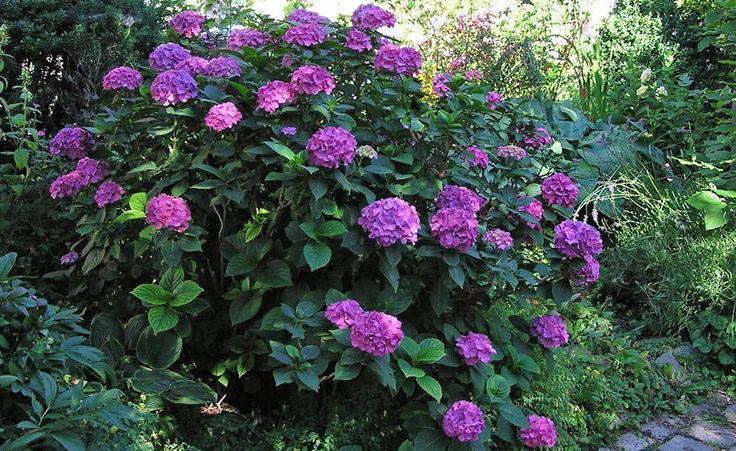 197 besten hortensien bilder auf pinterest hortensien mein garten und pflanzen. Black Bedroom Furniture Sets. Home Design Ideas