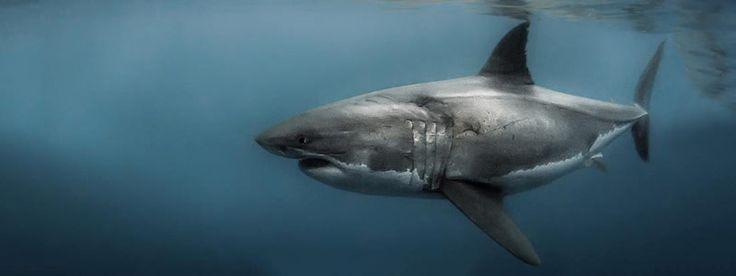 Tiburón blanco a la vista