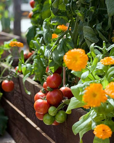 Companion planting: friends or foes?
