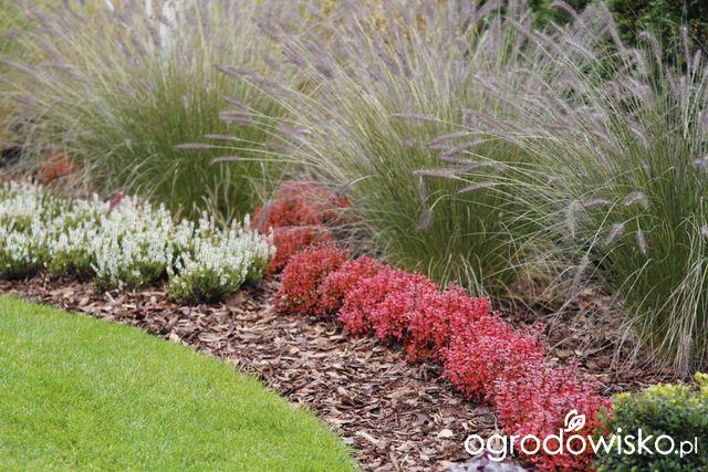 Berberys - Berberis - strona 16 - Forum ogrodnicze - Ogrodowisko
