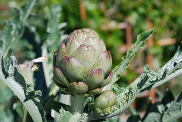 Growing artichokes are easy to grow even as annuals, however many artichoke varieties are frost hardy in zone 7 and above