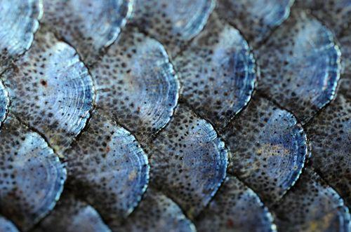 fish scales | Tumblr