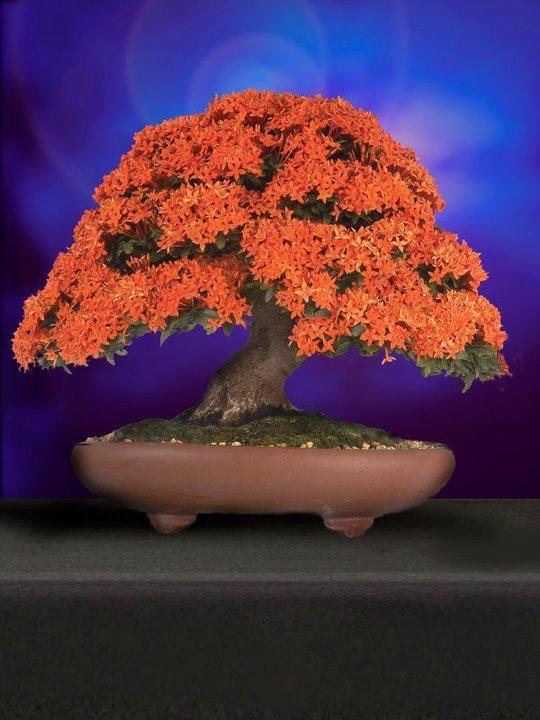Bonsai oh wow i didnt know you could make these into a bonsai!! i cant remember the name