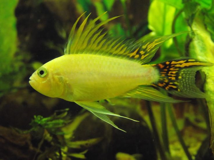 1015 Best Images About Cichlids On Pinterest Peacocks