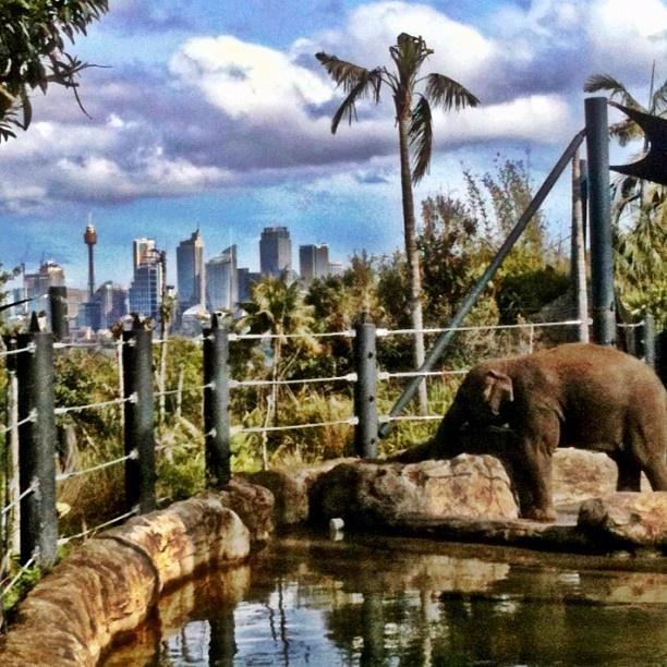 #seeaustralia #sydney #tarongazoo #elephants #sydneyskyline #cityview #zoo #animals - @naedorahy- #webstagram