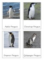 Free montessori cards for types of penguins.  These match with the safari toob for penguins