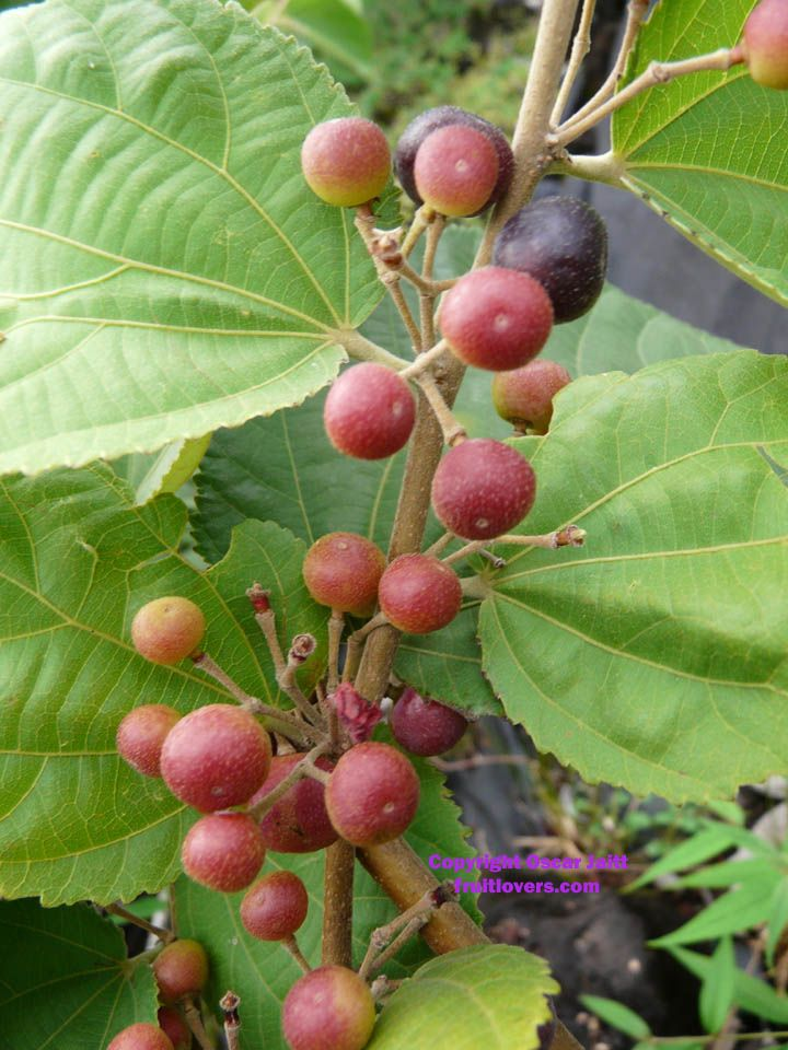 Phalasa is an edible fruit produced by the tree Grewia asiatica which is native to Pakistan and Northern India.
