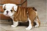 real love - british bulldog