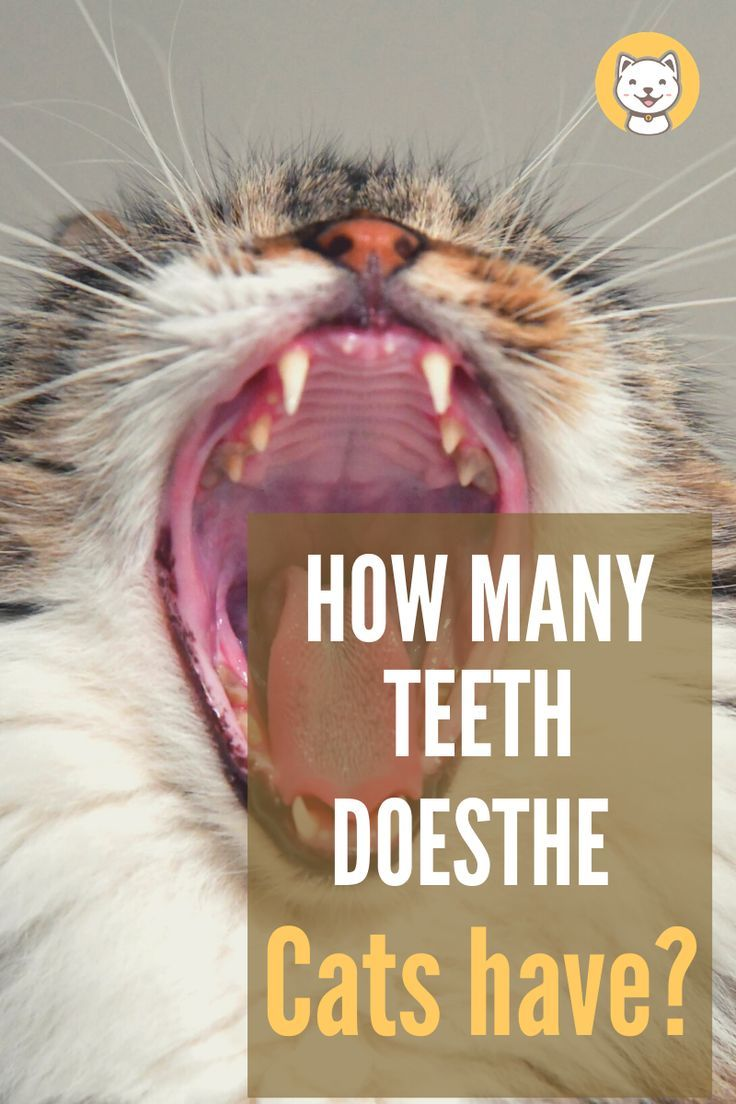 How Many Teeth Does The Cat Have In 2020 Funny Cat Memes Cat Care Cat Facts