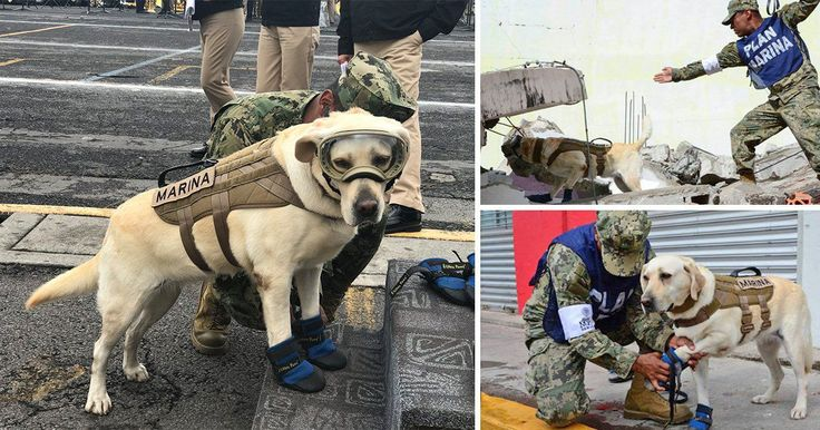 Rescue dog who has saved 52 lives is hard at work after Mexico earthquake   Read more: http://metro.co.uk/2017/09/21/rescue-dog-who-has-saved-52-lives-is-hard-at-work-after-mexico-earthquake-6944553/#ixzz4tUC5ZPEs