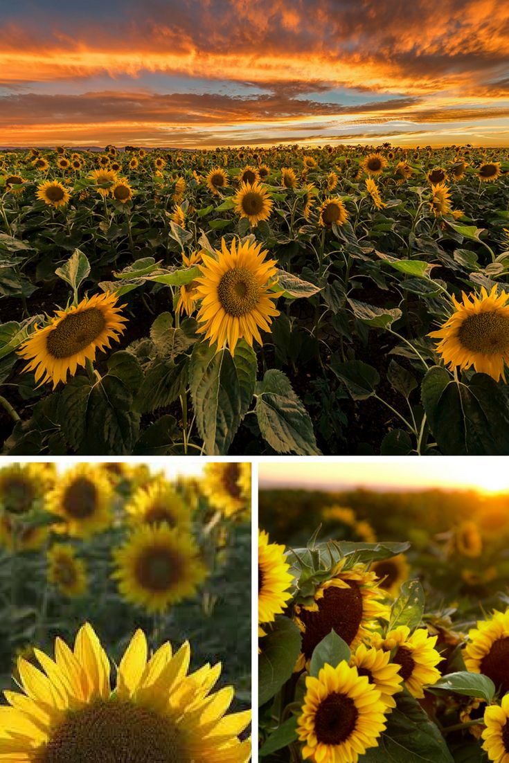 Sunflowers are a good source of protein, potassium, iron, phosphorus, calcium, iodine, magnesium, and vitamins B, C, and E. This means good stuff for us, but also for the birds. You can harvest the seed heads and hang them to dry, saving them for winter feeding, but we prefer to leave them self-serve. There is a special kind of joy to watching a bright bird waving back and forth at the end of a dried sunflower stalk, silhouetted against the white snow.